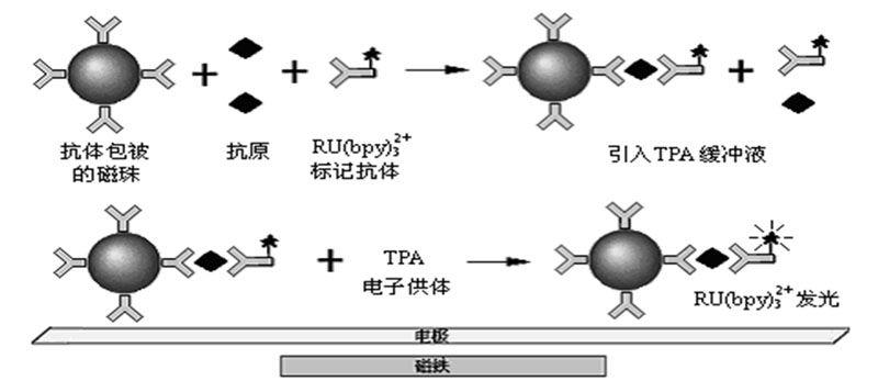 电化学发光免疫分析示意图